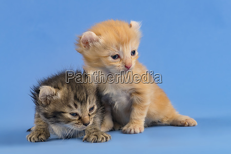 cats american curl 2019 18173