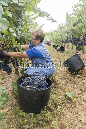 woman harvesting grapes in a vineyard