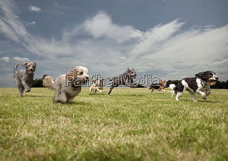 dogs chasing each other in a