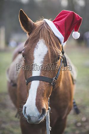germany brandenburg pony wearing santa hat