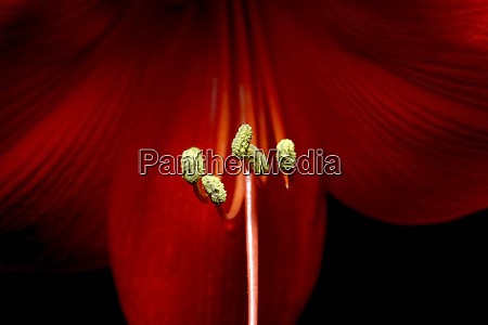 germany close up of stamens of
