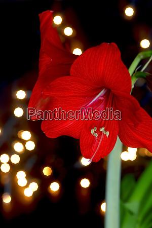 germany red blooming amaryllis flower