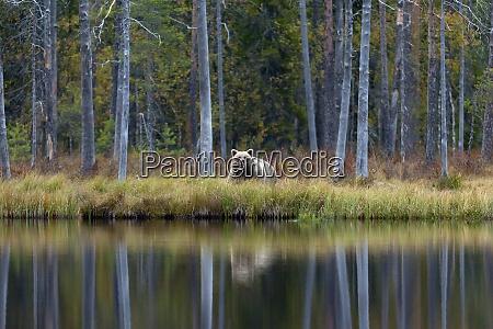 finland kuhmo brown bearursusarctosstanding onlakeshorein autumn
