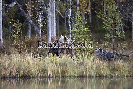 finland kuhmo brown bearursusarctosfamily atborealforestlakeshorein autumn