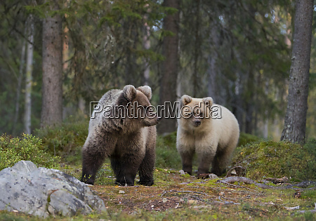 two young brown bears in autumnal