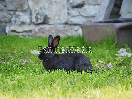 black bunny with big ears in