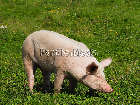 one pigs on a mountain pasture