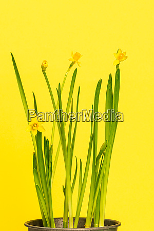 yellow daffodils in a flowerpot against