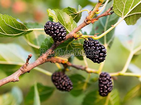 growing mulberries