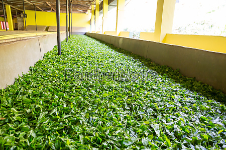 ceylon, tea, leaves, drying, process - 28061884