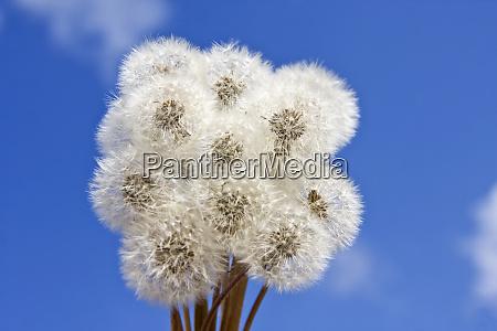 dandelions - 28061912