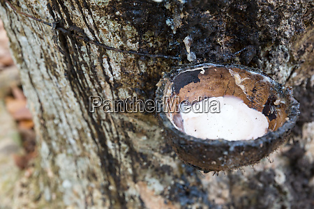 rubber, tree, with, milk, droping, in - 28061856