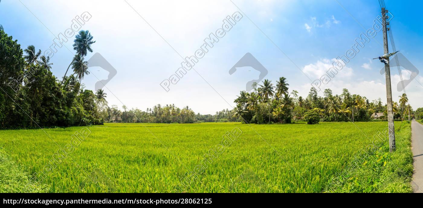 rice, field, in, sri, lanka, panorama - 28062125