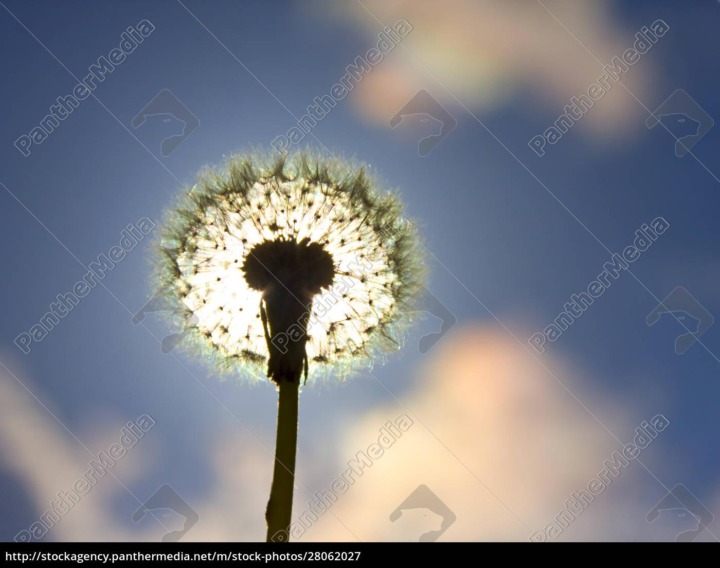 silhouette, of, dandelion - 28062027