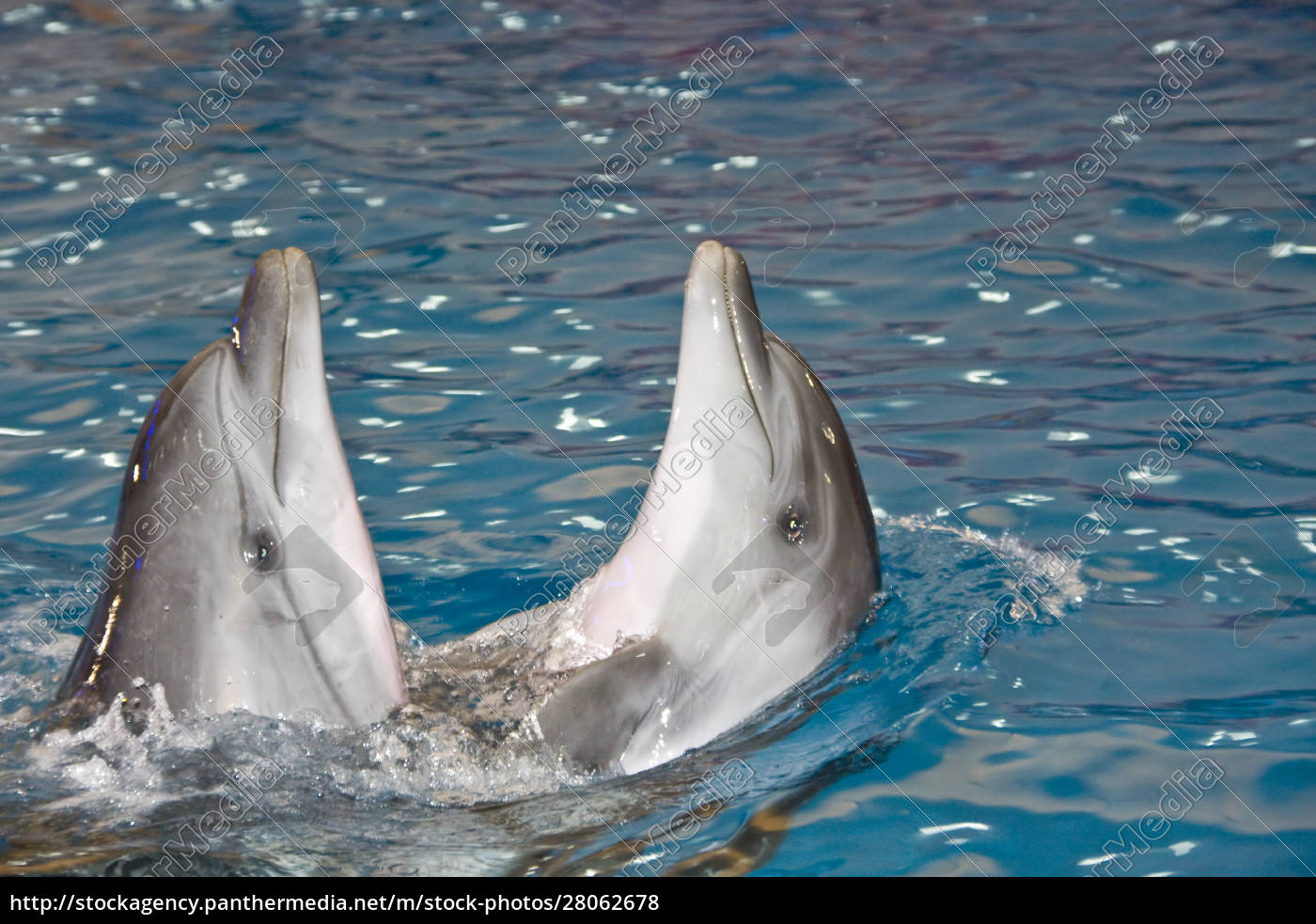 two, dancing, dolphins - 28062678