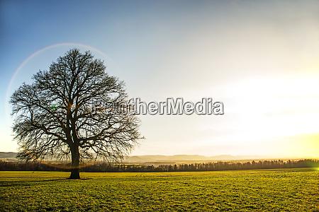 oak in autumn with blue sky
