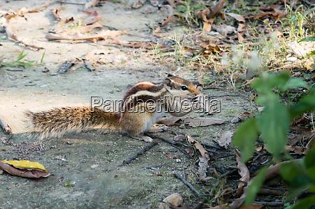 a small striped ground squirrel fat
