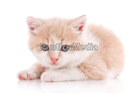 cat is isolated on white cute