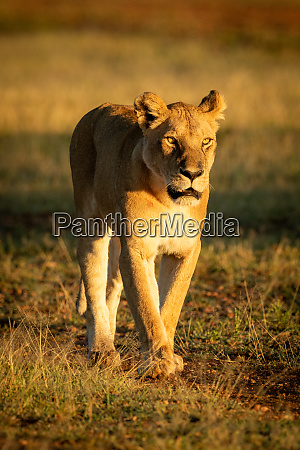 lioness walks down track in dawn