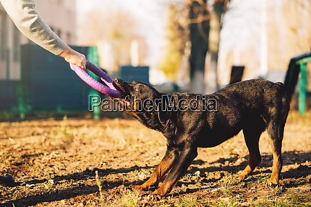 male cynologist cop dog training outdoor
