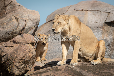 lioness sits with cub on sunny