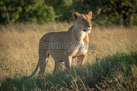 lioness stands on grassy mound staring