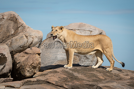 lioness stands on sunny kopje facing