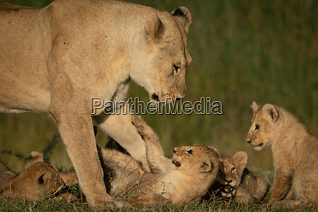 lioness stands over four playful cubs