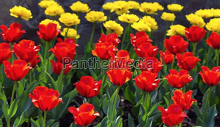 tulips, in, the, garden - 28082725