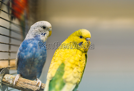 two, parrots, sitting, on, a, stick - 28082889
