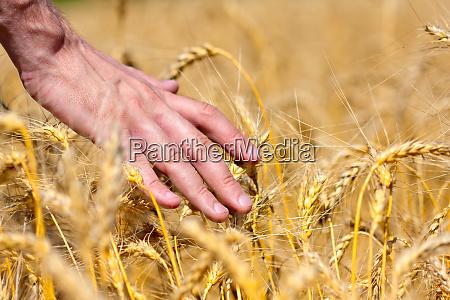 farmer touching wheat ears
