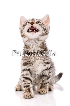 a small playful striped gray kitten