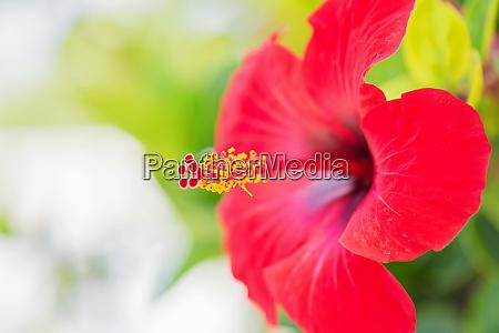 tender macro shoot of red hibiscus