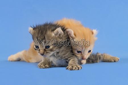 cats american curl 2019 18176