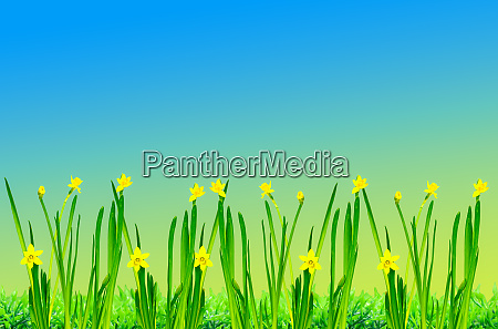 easter wallpaper with daffodil in front