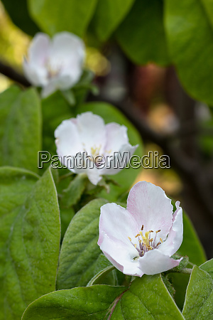 quince flowers blossoms with leaves portrait