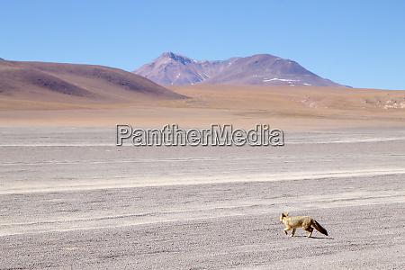 andean fox close up bolivia