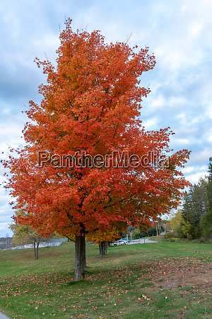 beautiful red maple against a cloudy