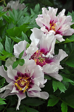 lovely pink peonies