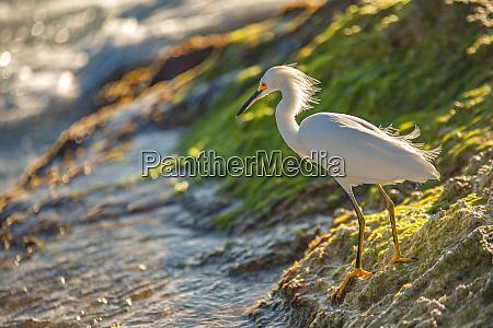 bubulcus ibis in dominican beach 11