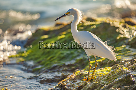 bubulcus ibis in dominican seashore 12