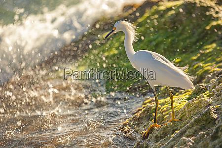 bubulcus ibis in dominican seashore 11