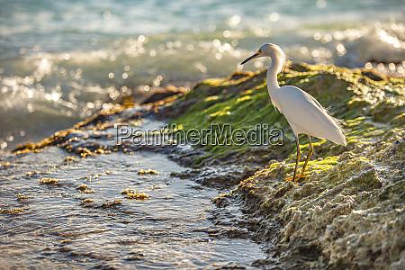 bubulcus ibis in dominican seashore 14