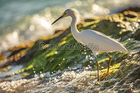 bubulcus ibis in dominican seashore 15