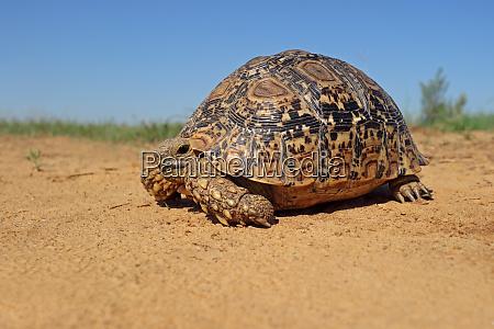leopard tortoise in natural habitat