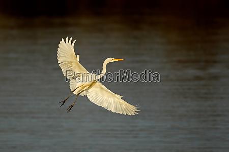 western great egret in flight