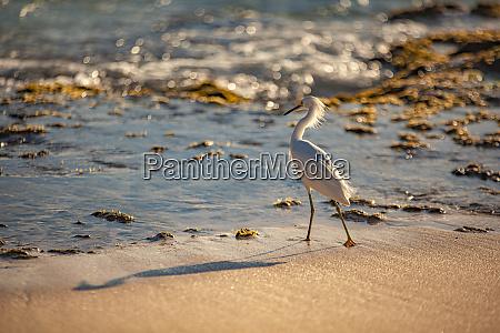 bubulcus ibis in dominican beach