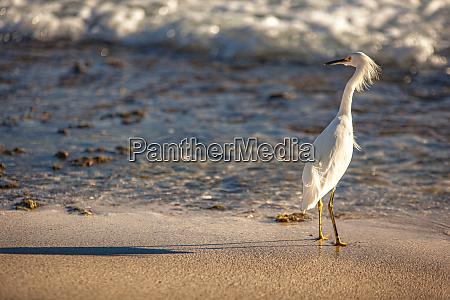 bubulcus ibis in dominican seashore 2