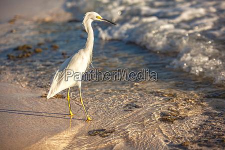 bubulcus ibis in dominican beach 6