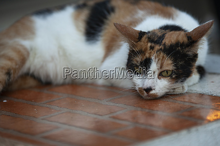 lying cat resting